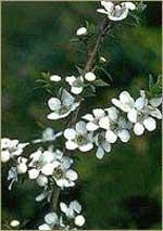 Сосала масло чайного дерева с рафинадом